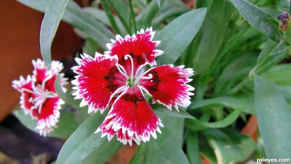 Red White Flower