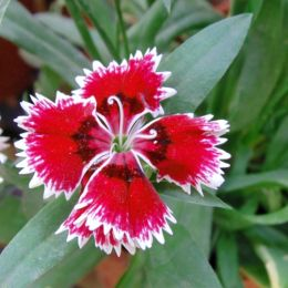 RedWhiteFlower