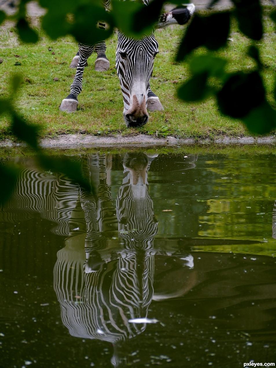A thirsty Zebra