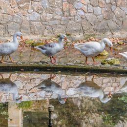 Duckmarch