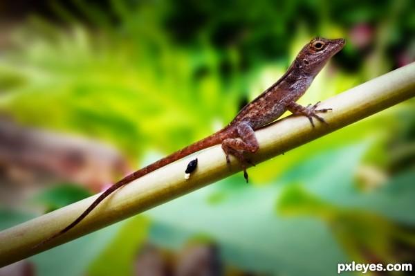 Anole Bark Lizard PR