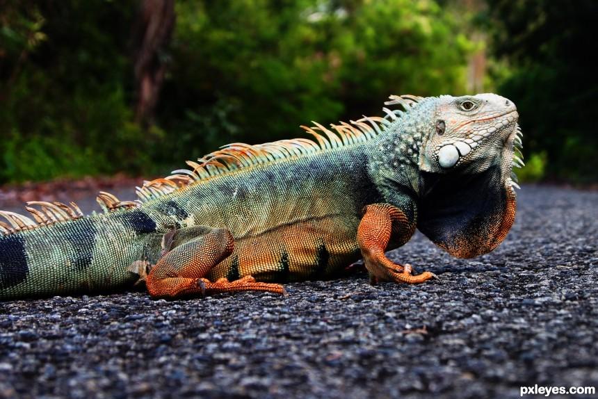 Iguana PR photoshop picture)