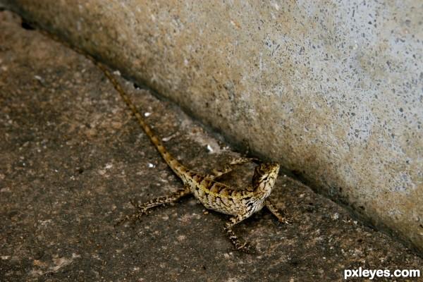 Lizard in Cambodia