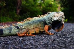 Iguana PR