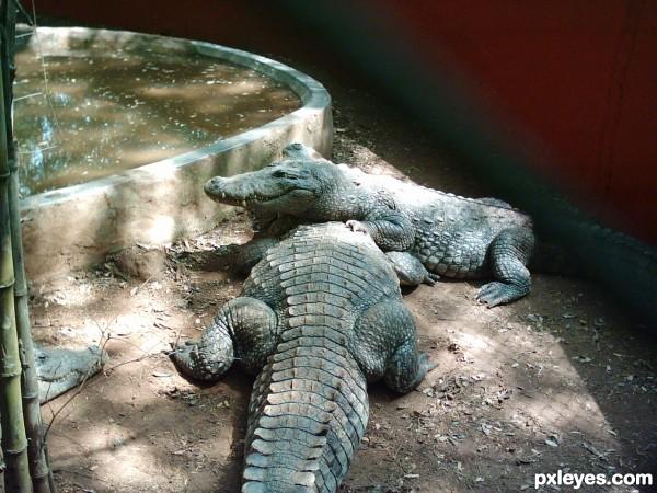 3 crocs..