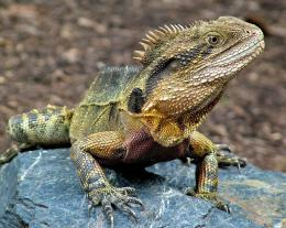 Eastern water dragon Picture