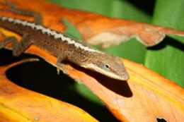 Leafy Lizard Picture