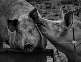 Even Pigs can be Romantic