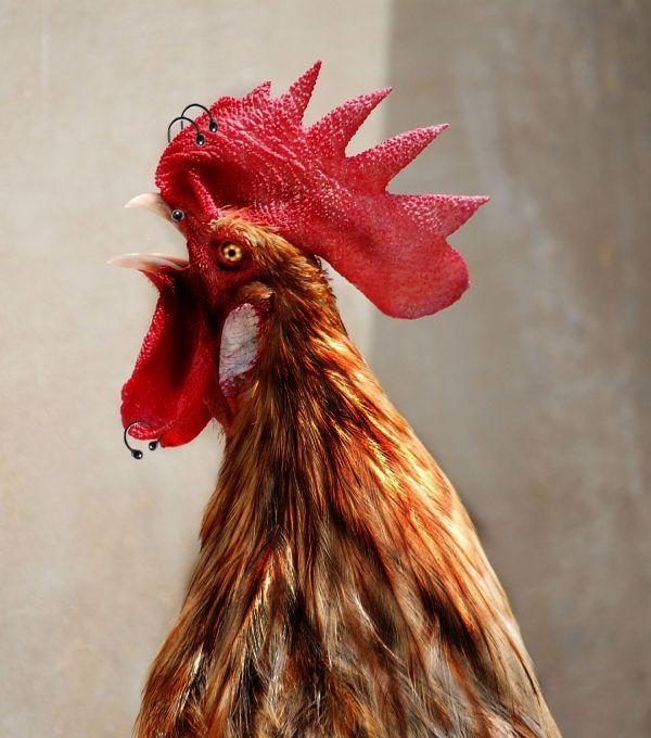 rocken rooster