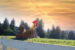 Farm Rooster