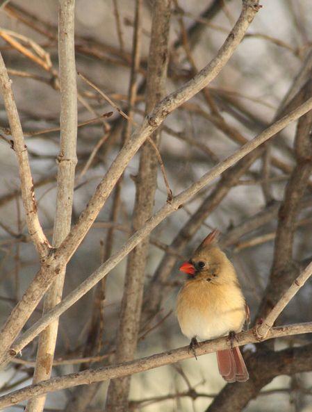 Cardinal in the Corner