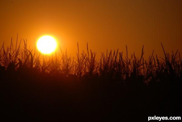 Sun Stalks