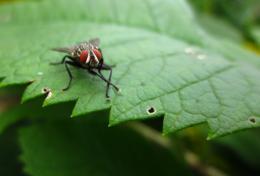 EegaHousefly