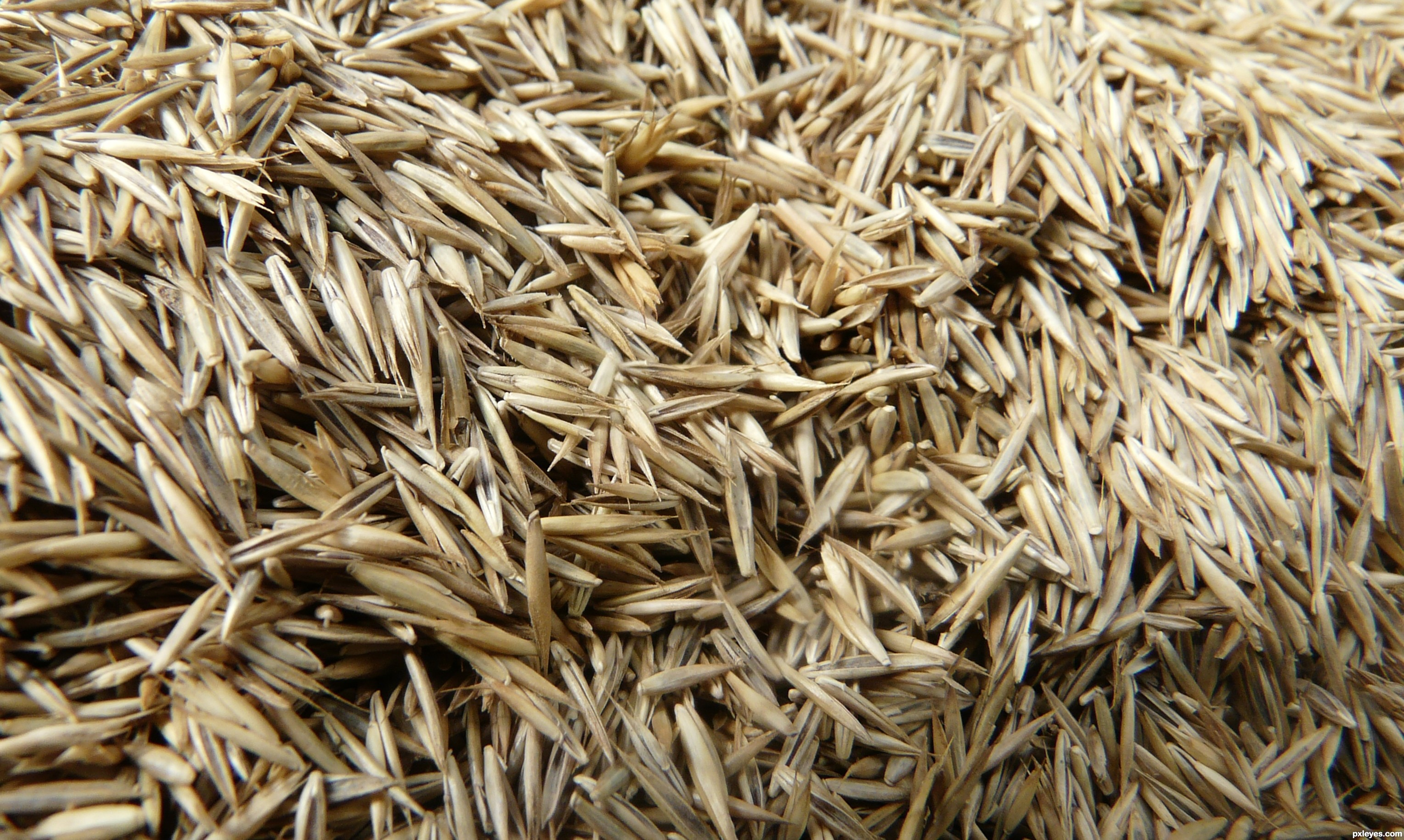 grass seed picture by kathyw for seed macros photography contest. Black Bedroom Furniture Sets. Home Design Ideas