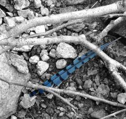 Bluejayfeather
