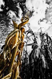 scary_corn_field