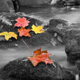 MapleLeaves