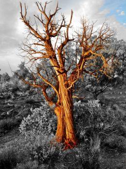Flaming Tree