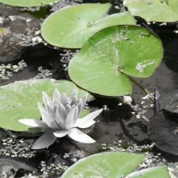 Water lily leaves Picture