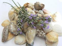 Lavender shells Picture