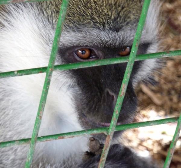 Silence of the Monkeys...