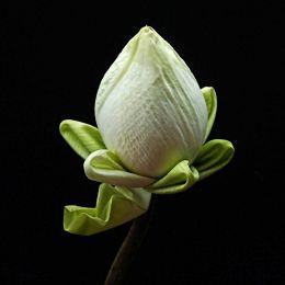 Regal Lotus