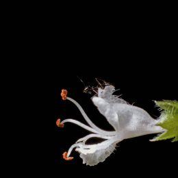 Ocimum basilicum Picture