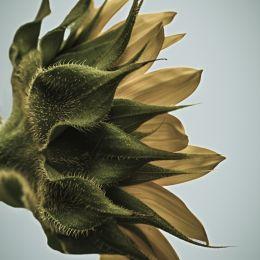 Sunflowerfromtheside