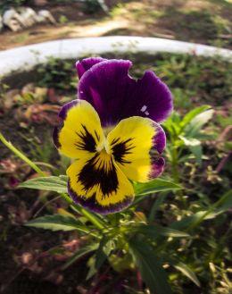 Butter Flower