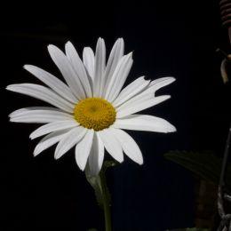 Theflowerofthemorning