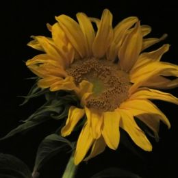 SunfloweratNight