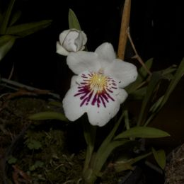 Niceorchid