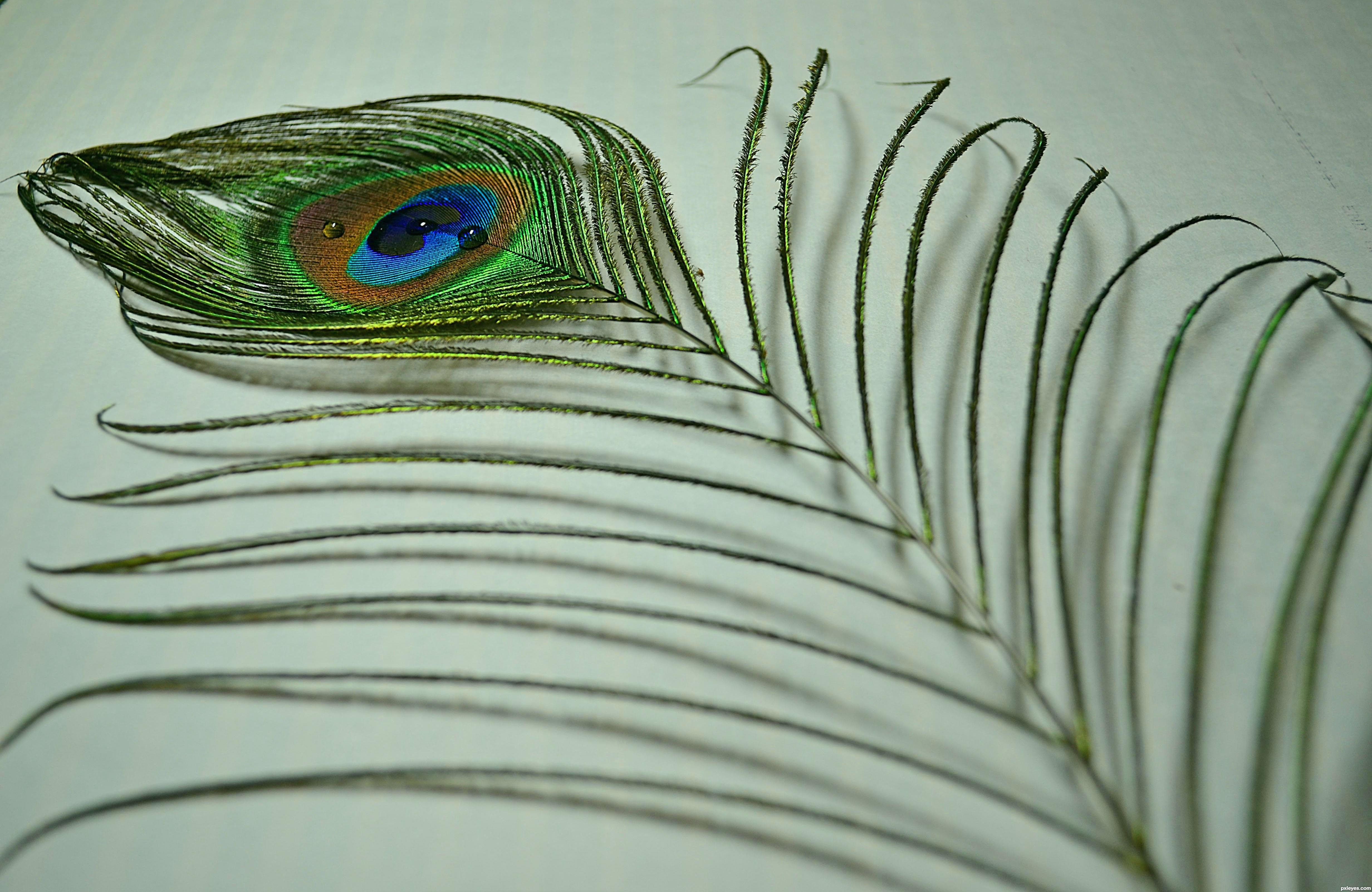 Peacock feather picture, by drskn08 for: singles 2 photography contest ...