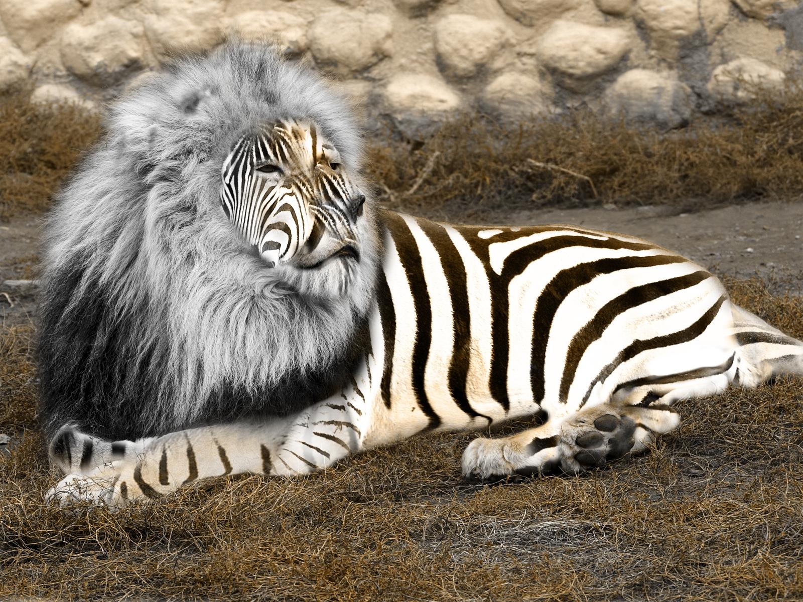 Lion Zebra Mix Lion Zebra Zebon