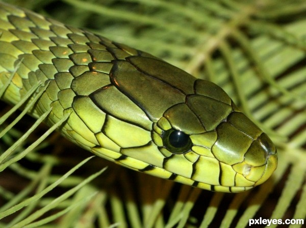 Green Mamba photoshop picture)