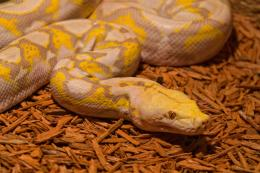 YellowSnake