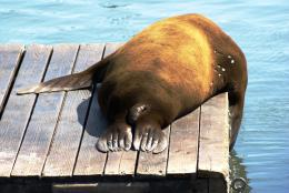 SnoozingSeaLion