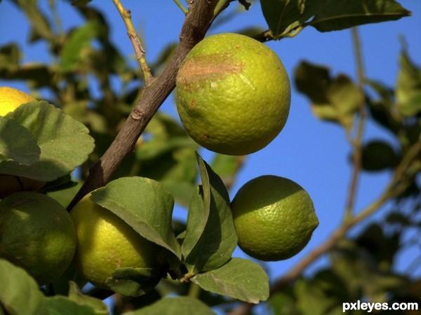 Lemon Tree, Trini Lopez