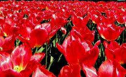 TulipsfromAmsterdam