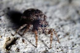 JumpingWolfSpider