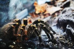 big harry spiderrr