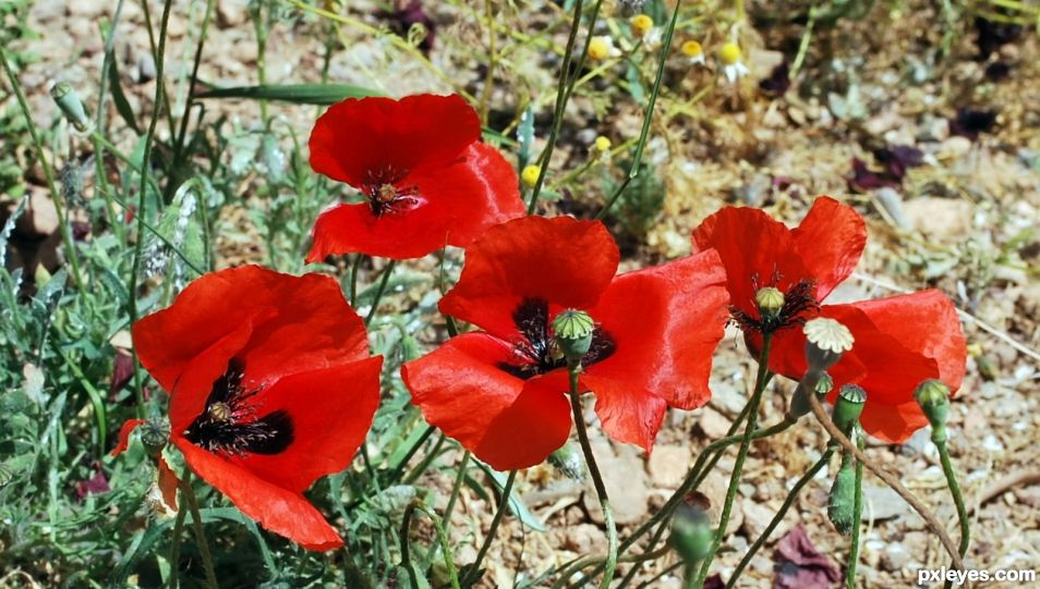 poppies, the flowers of spring