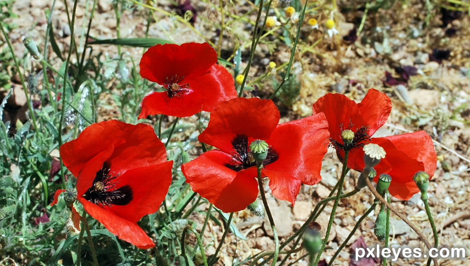 Poppies The Flowers Of Spring Picture By Matka For Spring 2