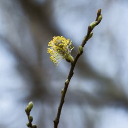 Willowcatkin