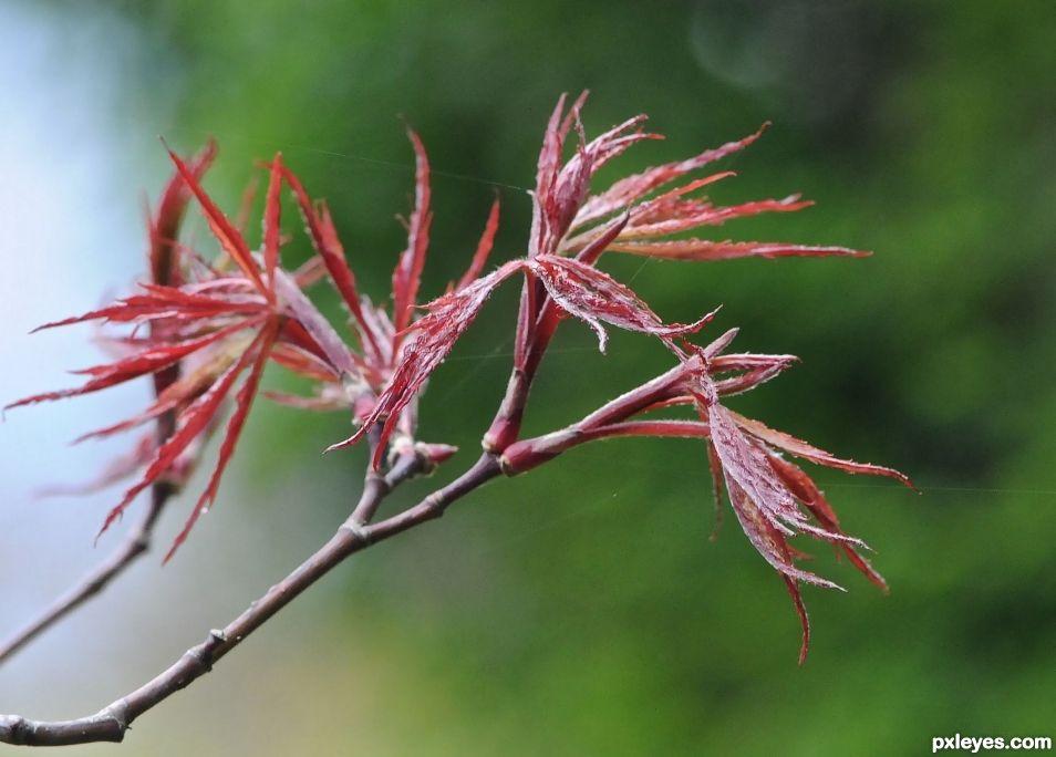 birth of a maple leaf