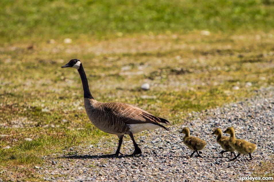 Spring Geese Hatchlings
