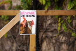Beware of the Chikens