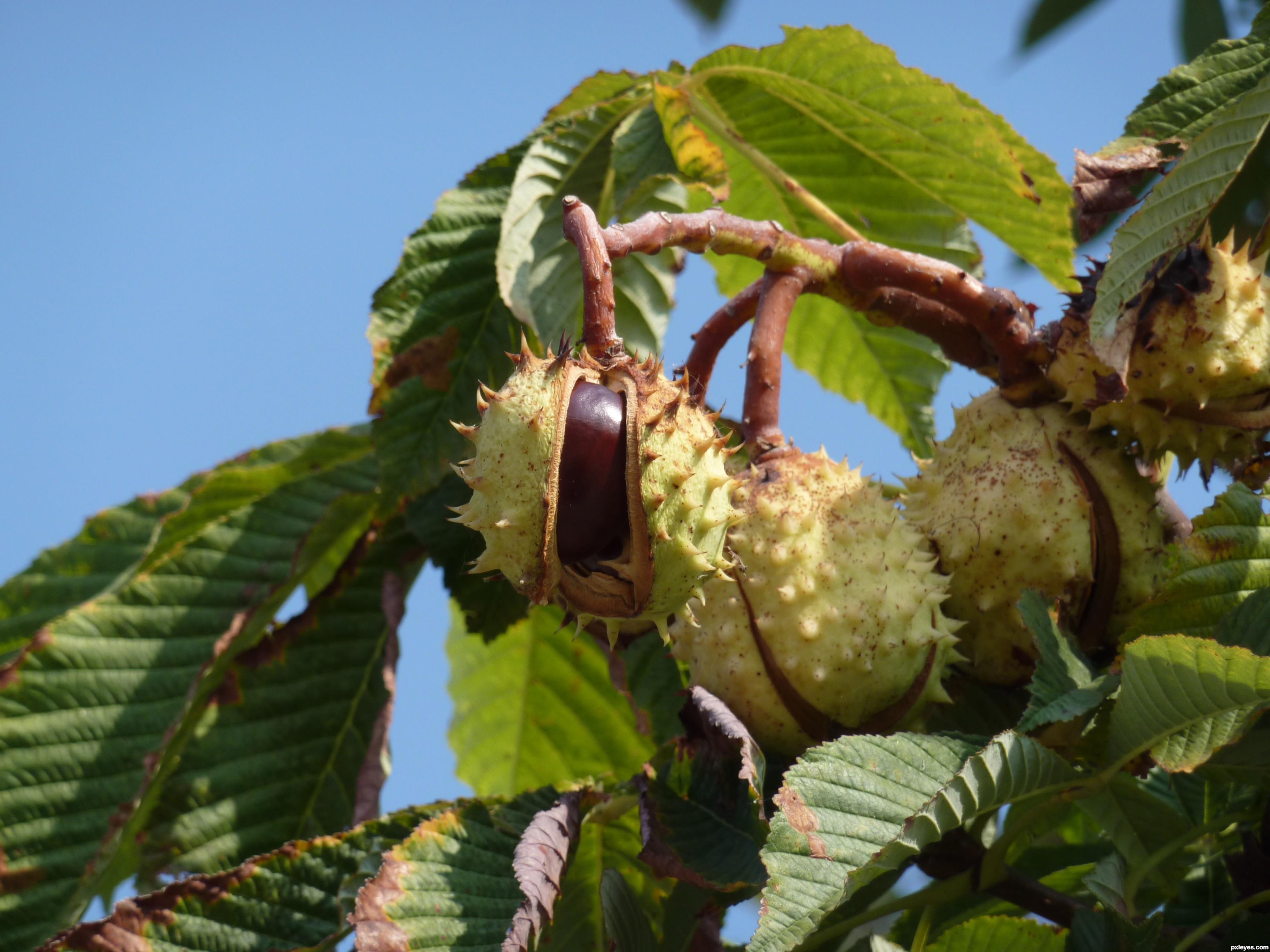 Как посадить каштан из ореха - действенный способ 12