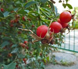 Rosehipberries
