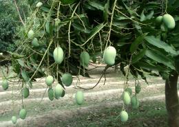 summerfruitsmango